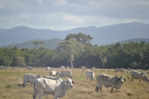 Brahmans enjoying the day