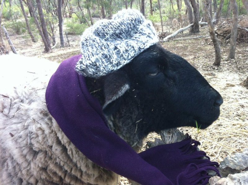 Classiest Sheep in Australia