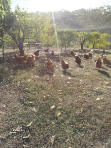My Chicken charges..happy and loving life as they should be!
