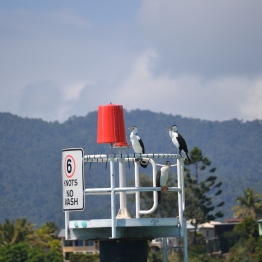 These birds have the nickname of the Whitsunday Penguins