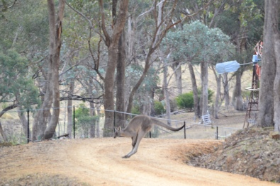 Of course this is the real Kangaroo..flying across our driveway