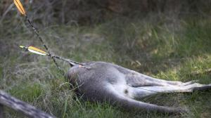 Kangaroo shot with 2 arrows.