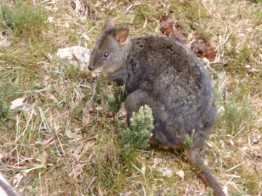 PADEMELON..SMALLER EVEN THAN A WALLABY AND ALL OVER THE PLACE AT NIGHT! WHAT SHOULD HAVE BEEN A RELATIVELY QUICK TRIP BACK TO THE HOTEL TOOK FOREVER!! HUBBY DRIVING ME SPOTTIN FOR PADEMELONS...BY THE TIME WE GOT BACK TO THE HOTEL OUR EYES WERE BUGGING OUT OF OUR HEADS..WE DID NOT WANT TO HIT ONE!