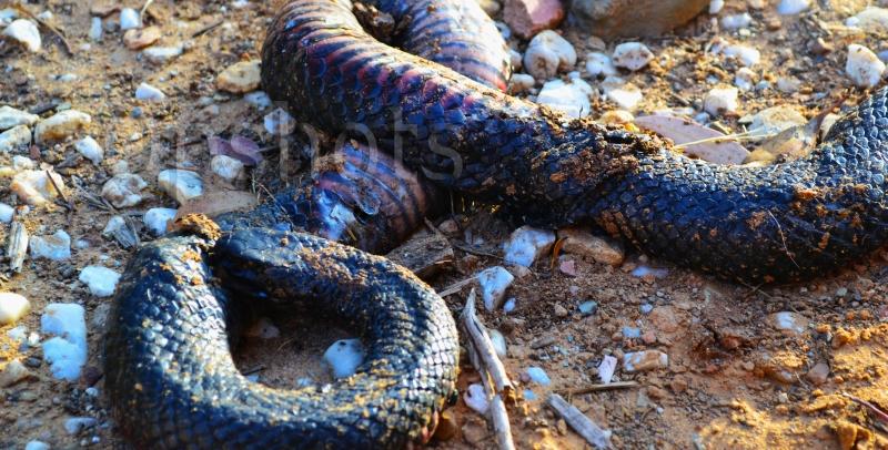 Poor-snake