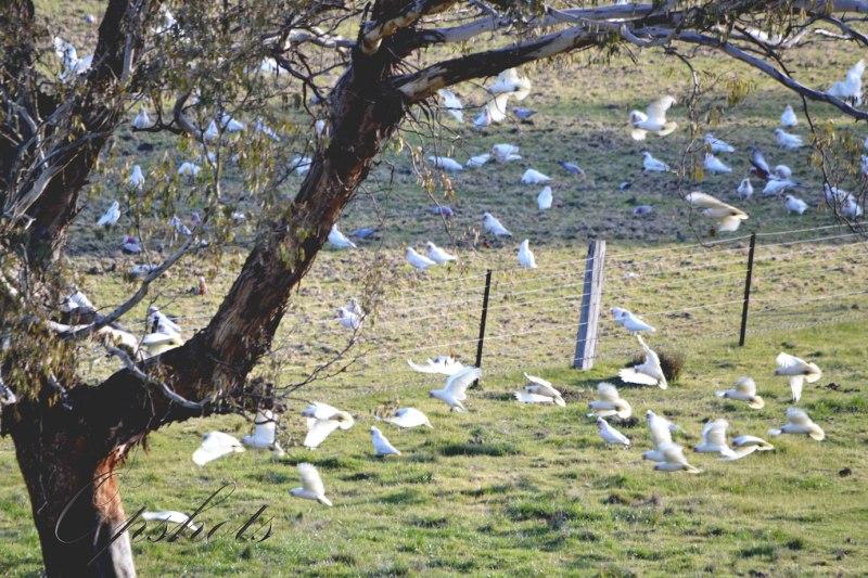 Afternoon flock of Cockatoos...