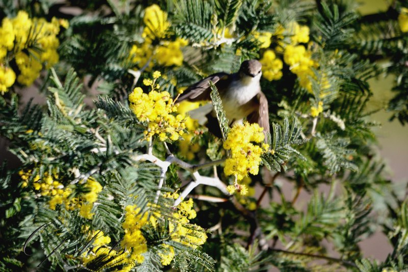Enjoying the wattle blooms...