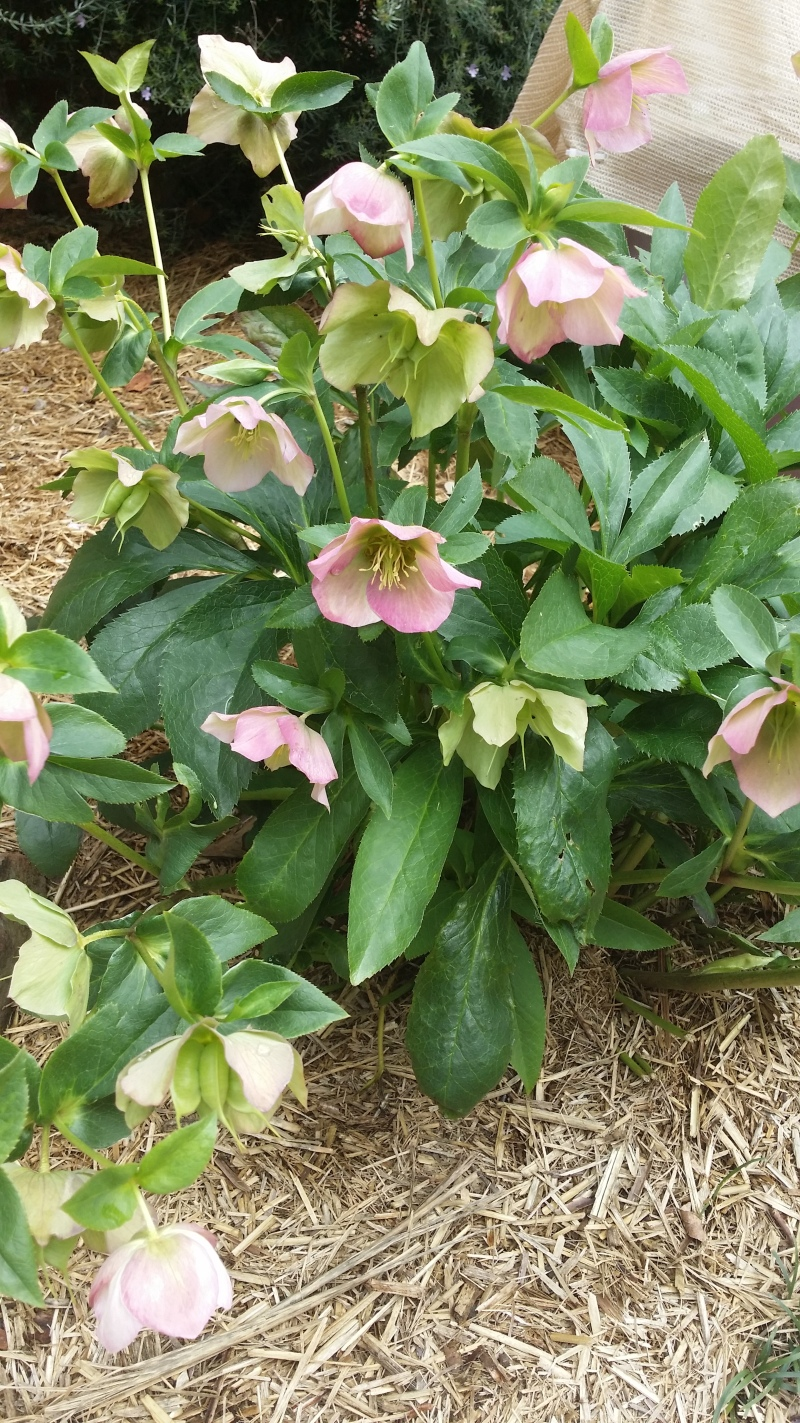 Hellebores also called Christmas roses..rallied after a beating by the frosts