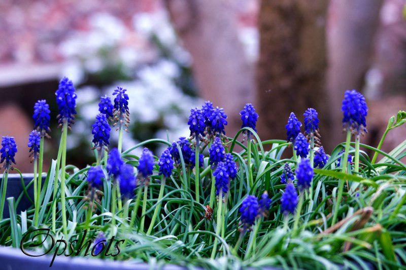 One of my greatest loves..the Grape hyacinth