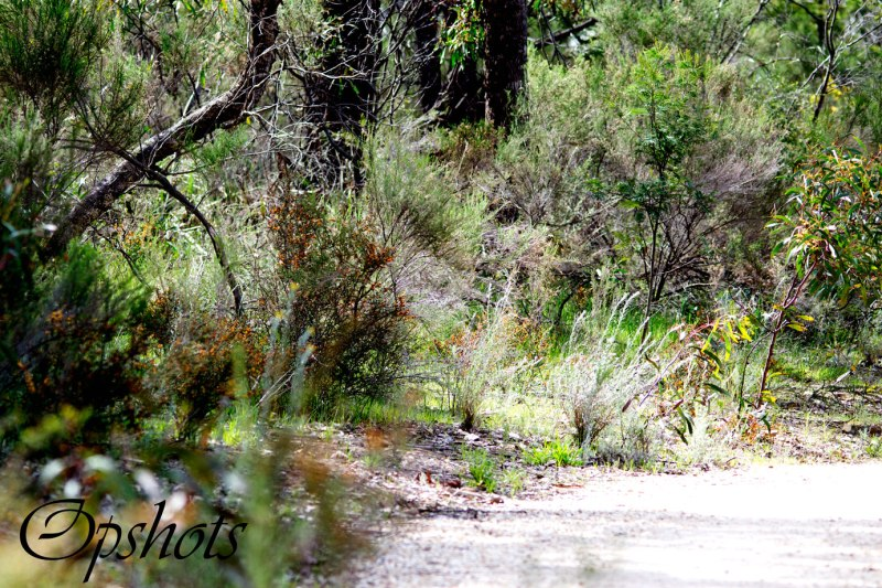 A section of pathway showing egg and bacon plants wattles and gums