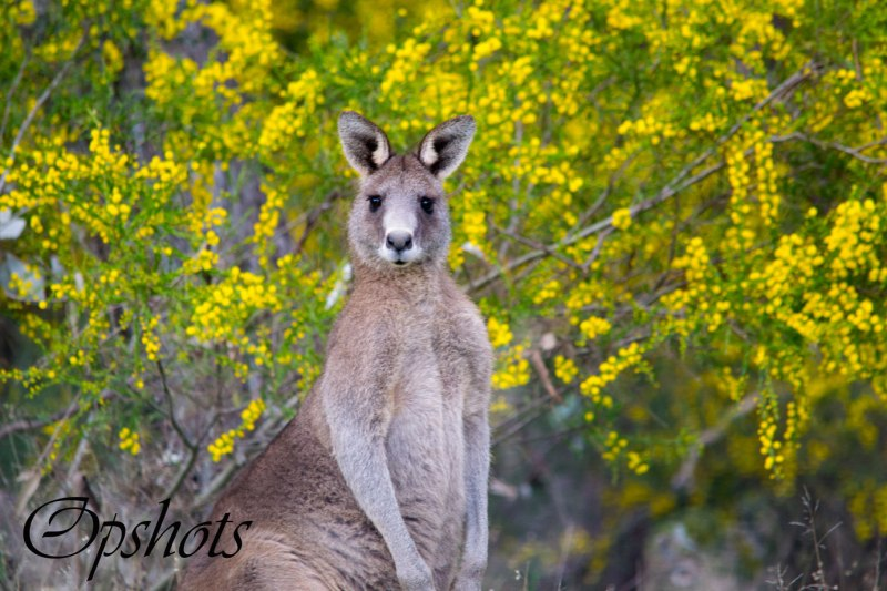 The young big boy looks beautiful against the Kangaroo thorn wattle