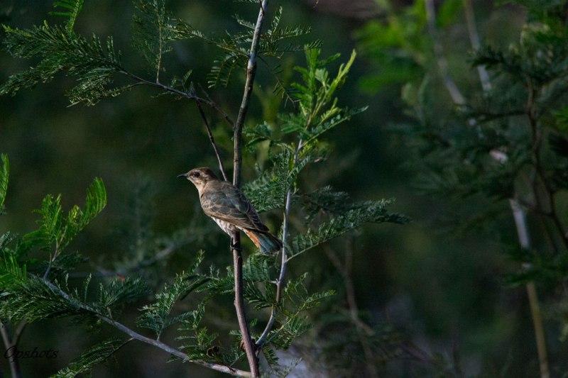 Horsfields-Bronze Cuckoo