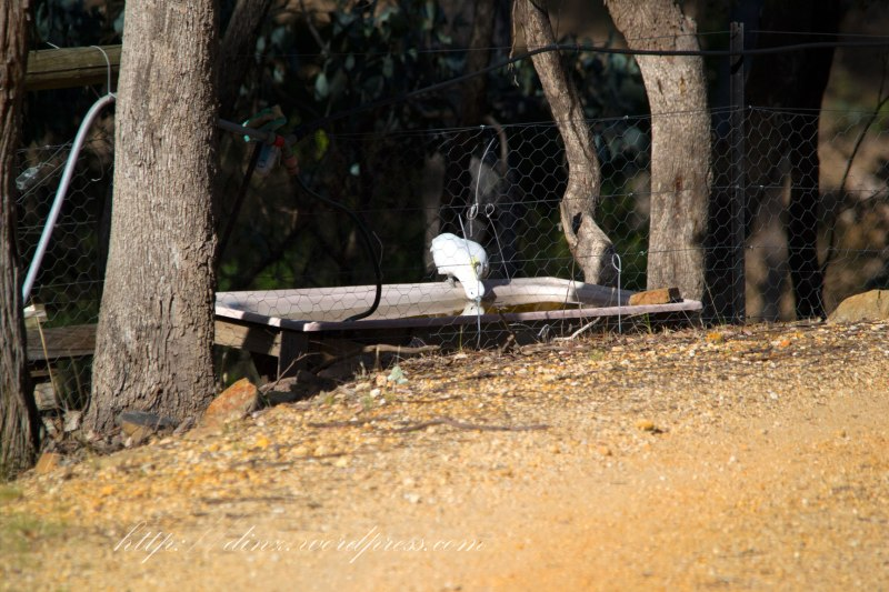 A Cockatoo having a cheeky drink from the sheeps water