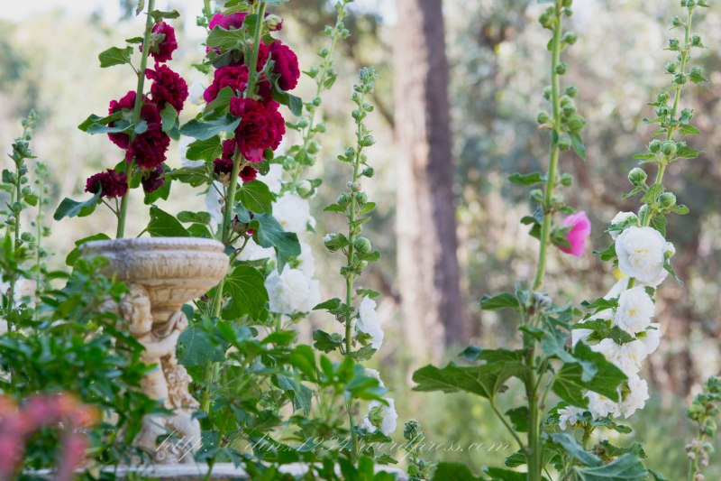 At a good 9 foot tall now I was so excited to see a pink Hollyhock make an appearance