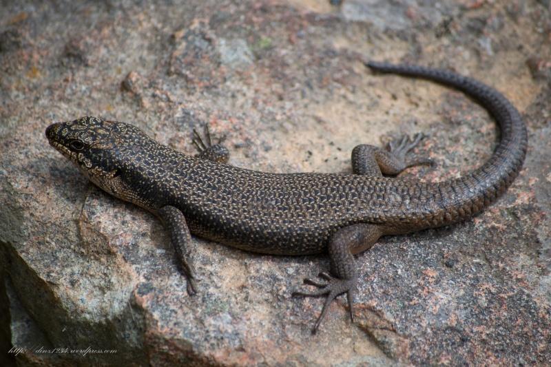 Gorgeous lizard