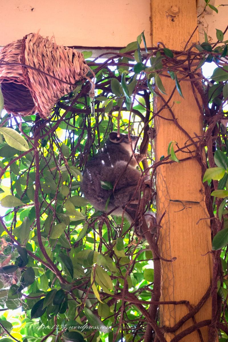 Hello Possum! Meet Virgil the verandah possum