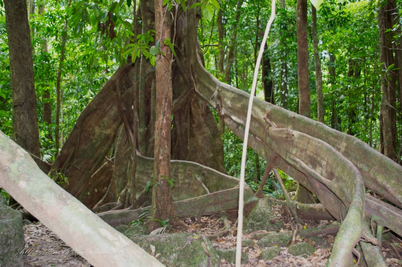 A strangler fig..these roots sound hollow when you touch them..unbelievable they hold such giant structures