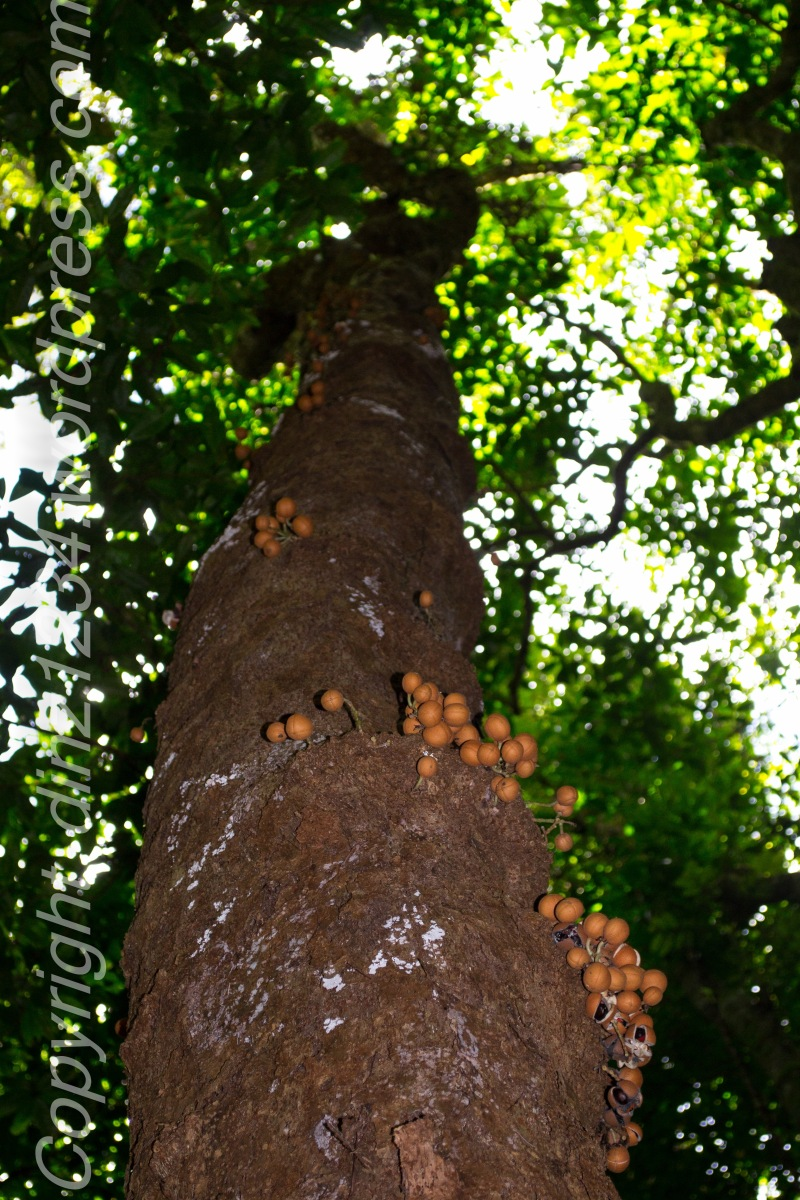 Believe it or not a Lillypilly tree!