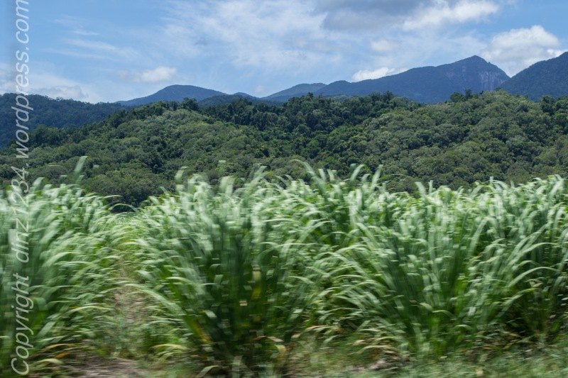 Canefields a  blur as we head to the watering hole