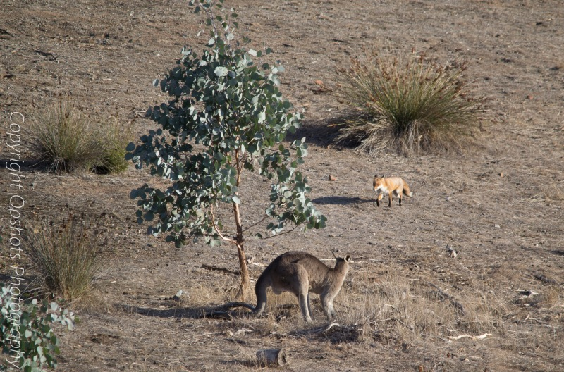 Here comes the fox see the Roos posture at first