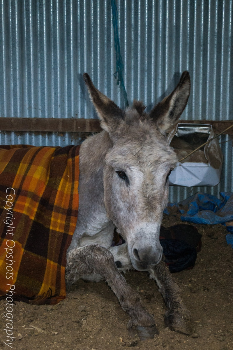 Back on the ground and with blankets on Pedro is back in his barn