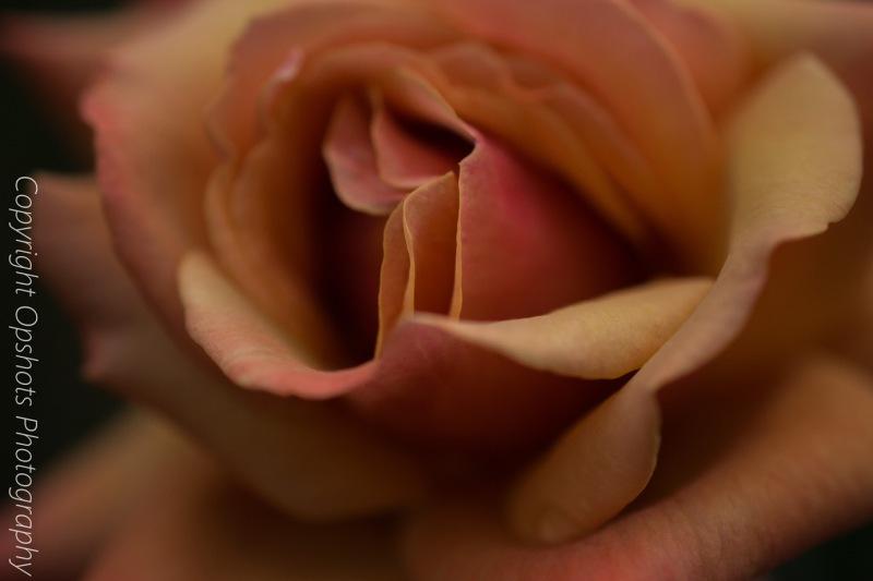 Rose_conserv