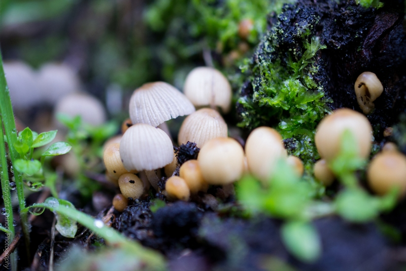 A congregation of tiny toadstools at the base of a tree stump @Mount Alexander