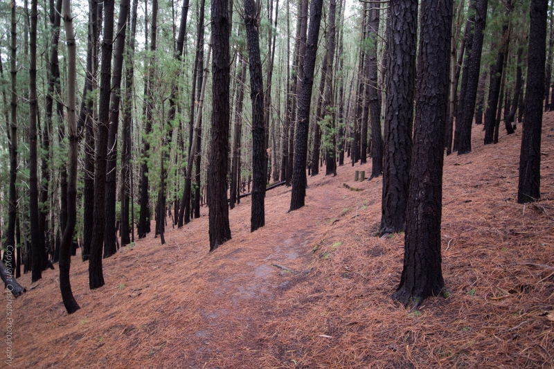 Pine forest is dramatic and different to Eucalypts @ Mount Franklin