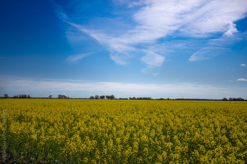 Whispy Clouds hang gracefully over Canola fields