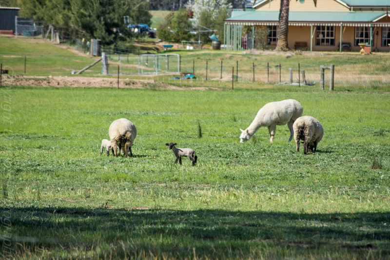I made a Uturn so i could take this shot.i was so happy to see these sweet lambs