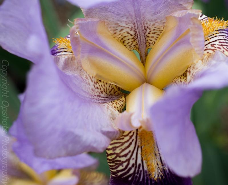 Iris in the sun
