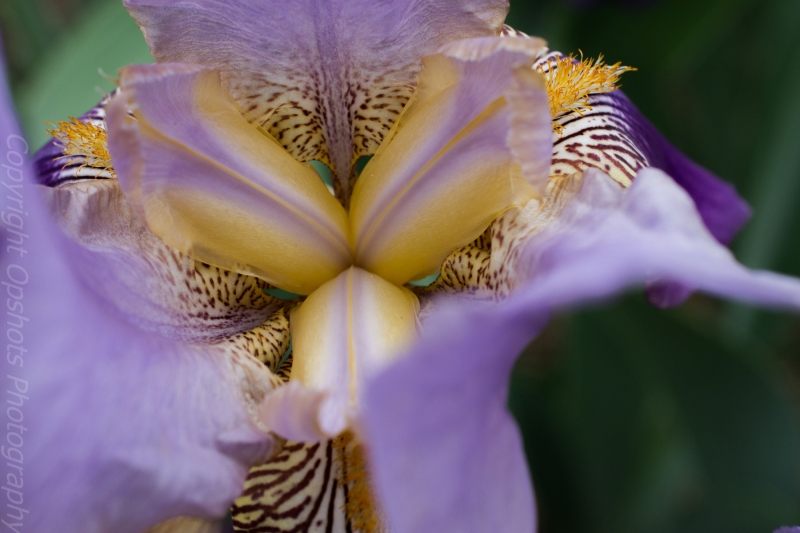 Captivating Iris