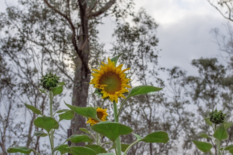 DSC_0544_sunflowers