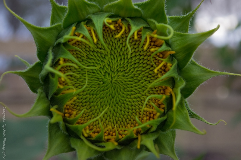 DSC_0548_sunflowers