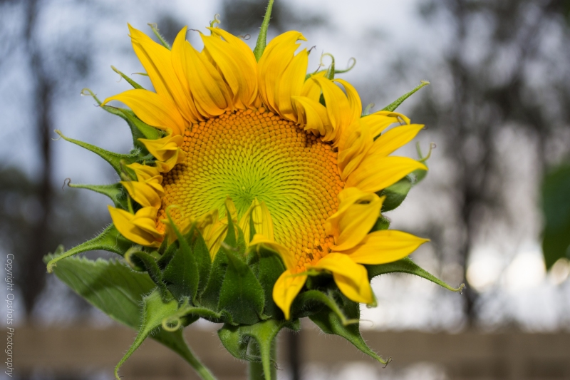 DSC_0549_sunflowers