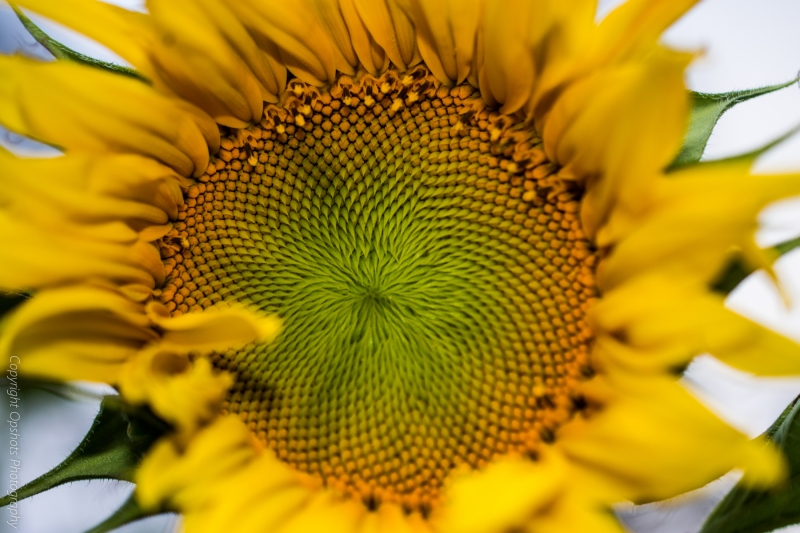 DSC_0550_sunflowers