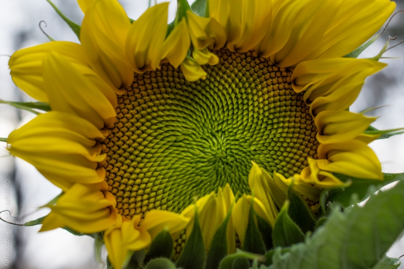 DSC_0555_sunflowers
