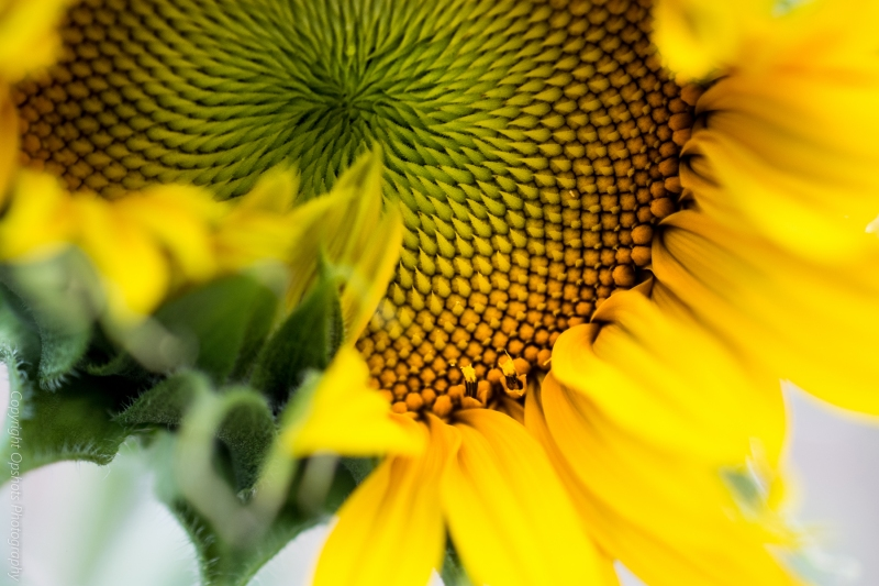 DSC_0562_sunbflower