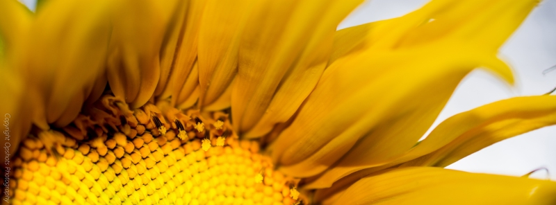 DSC_0569_sunflower