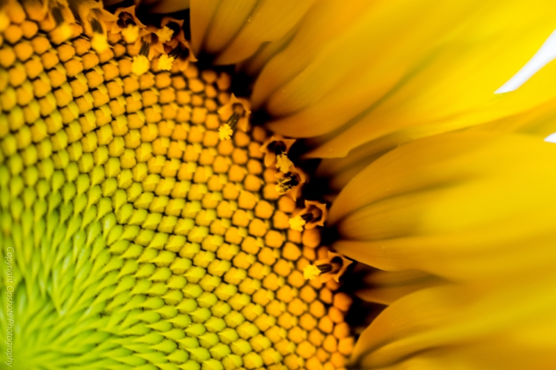 DSC_0572_sunflower