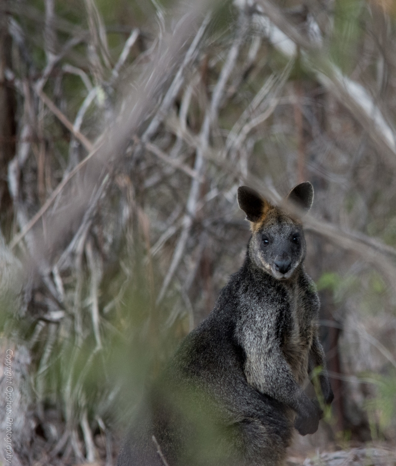 DSC_0703_black-faced-wallaby