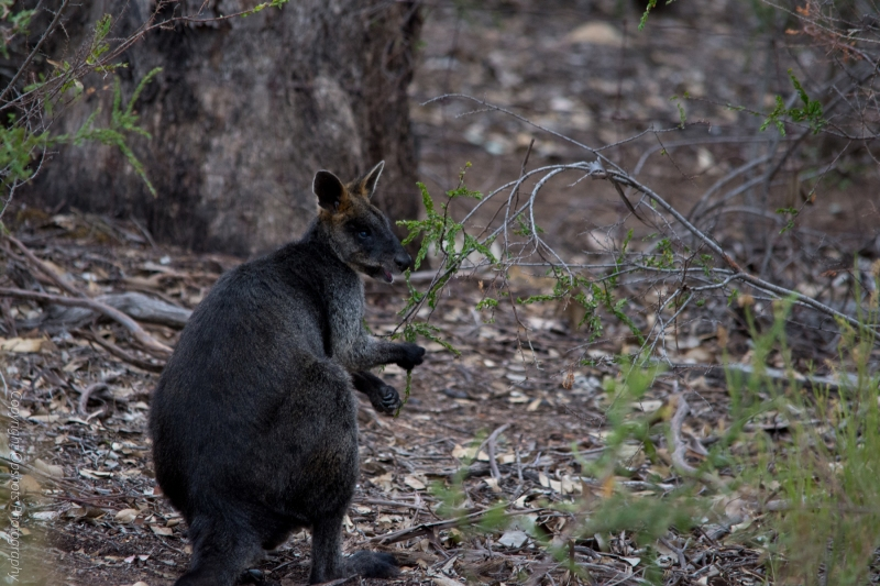DSC_1119_Black-faced-Wallaby