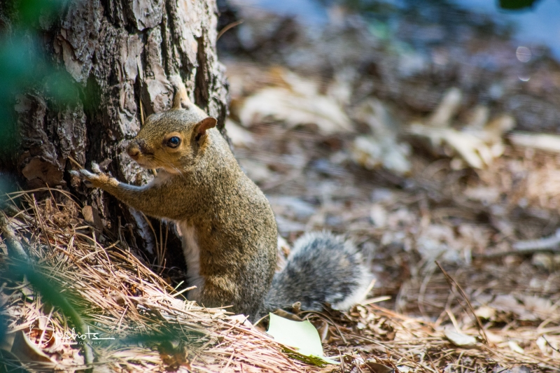 DSC_4760-2_Squirrel_wm