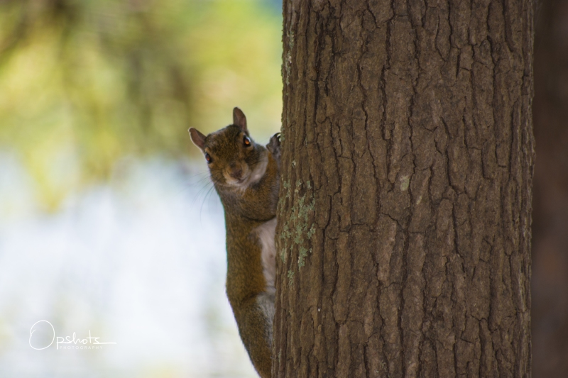 DSC_4784_Squirrel_wm